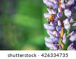 Bee Flying To Blue Lupin. Macro