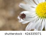Small photo of Tick (lat. Acarina) on a flower