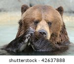 Praying Alaskan brown grizzly bear - stock photo