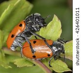 Small photo of Lachnaia, a genus of leaf beetles in the family Chrysomelidae
