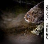 Close Up Of Wild Water Vole...