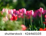 Amazing nature concept of pink tulips flowering under sunlight at summer or spring day landscape. Natural view of tulip flowers blooming in the garden with green grass as morning spring background.