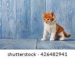 Stock photo ginger kitten with white chest long haired red orange kitten sweet adorable kitten on a serenity 426482941