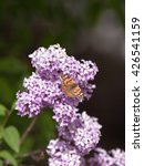 Small photo of American lady butterfly on a lilac bush