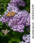 Small photo of Hummingbird hawk moth and American Lady butterfly on a lilac bush