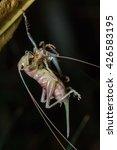 Moulting Katydid Of Borneo ...