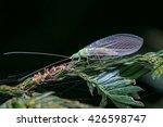 Lacewing Of Borneo   Close Up...