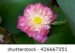 single pink full bloom lotus   Shutterstock . vector #426667351