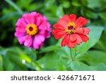 Zinnia  Flowers In Bright Gree...
