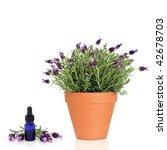 Lavender Herb Plant In Flower...