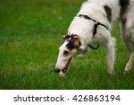 russian hound   Shutterstock . vector #426863194