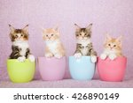 Four Maine Coon Kittens Sittin...