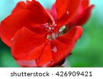 Closeup Of Geranium Flowers An...
