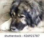 caucasian shepherd  | Shutterstock . vector #426921787