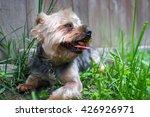 Portrait Yorkshire Terrier Or...
