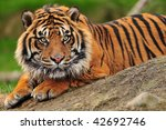 Beautiful Sumatran Tiger...