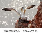 two gannets. bird landind to... | Shutterstock . vector #426969541