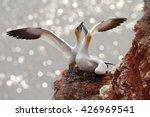 Two Gannets. Bird Landind To...