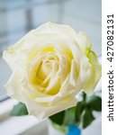 white rose | Shutterstock . vector #427082131