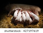 Small photo of Newborn piglets suck the breasts of his mother