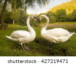 Lovers Swans