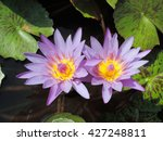Purple Lotus Blooming In...
