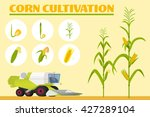 infographics the growing corn.... | Shutterstock .eps vector #427289104