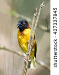 Small photo of Village weaver (Ploceus cucullatus) sitting on a branch with vegetation in the background