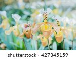 orchid paphiopedilum flower in... | Shutterstock . vector #427345159