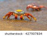 Sally Lightfoot Crab  Grapsus...