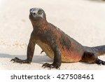 Marine Iguana Walking On The...