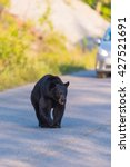 Small photo of American Black Bear in the springtime, Jasper National Park Alberta Canada