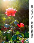 Stock photo brightly pink roses across from sunlight 42760018