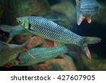 hoven's carp  leptobarbus... | Shutterstock . vector #427607905