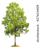 Small photo of Acacia mangium Willd. tree on a white background