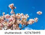 beautiful tree in blossom on... | Shutterstock . vector #427678495