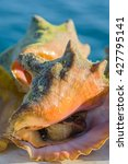 Small photo of Conch, alive in shell