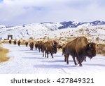 Herd Of Bison Leaving...