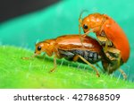 two mating scarlet lily beetles ... | Shutterstock . vector #427868509