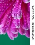 pink daisy flower with dew | Shutterstock . vector #42792196
