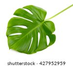 monstera leaf  isolated on white | Shutterstock . vector #427952959