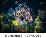Red Lionfish Swimming In A...