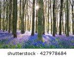 English Bluebells Carpeting Th...