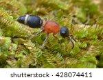 Mutillidae   Wingless Wasp  ...