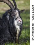 goat male laying at the farm... | Shutterstock . vector #428112205