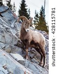 Rocky Mountain Bighorn Sheep O...