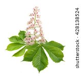 Aesculus Flower Isolated On...