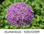 Allium Globemaster  Flowers Of...