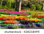 blooming flowers in keukenhof...   Shutterstock . vector #428218495
