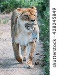 beautiful lions in savannah | Shutterstock . vector #428245849